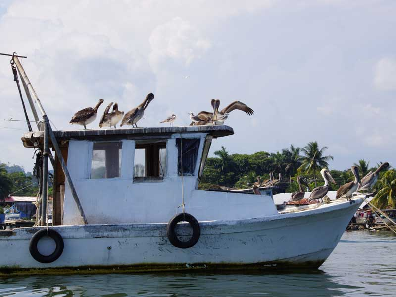 pelikane-boot-rio-dulce