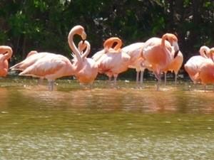 mexiko-rio-lagartos-flamingos-gruppe
