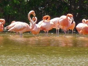 Flamingos am Rio Lagartos