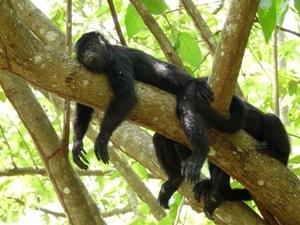 Entspannte Affen im Baum.