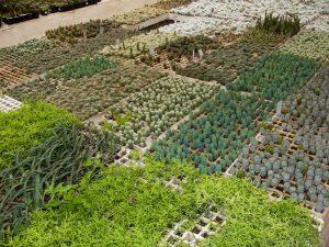 Kakteen-Plantage Gärtnerei Querétaro