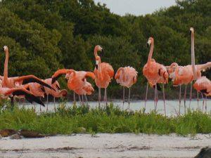 Tierische Begegnungen mit Flamingos am Rio Lagartos