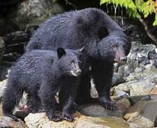 Ik zag twee beren …