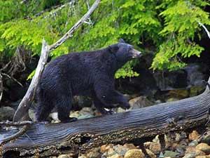 Beren kijken in Canada
