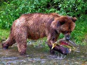 Reis Alaska: grizzly beren