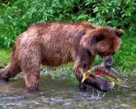Rondreis Canada: Alaska Grizzly