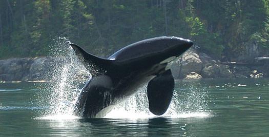 Canada reis orka