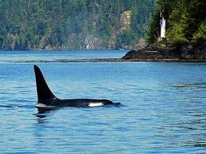 Rondreis Canada: orka's spotten