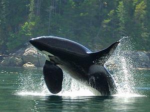 Canada reizen: orka Telegraph Cove