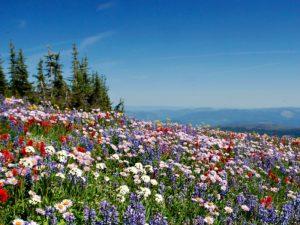 Sun Peaks - alpenweides bloemen