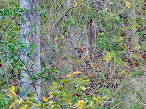 Tiger im Gebüsch im Corbett Nationalpark