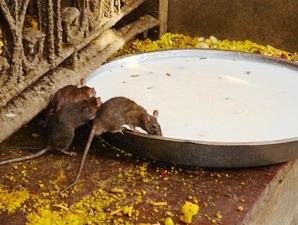 Tempel mit heiligen Ratten in Deshnok