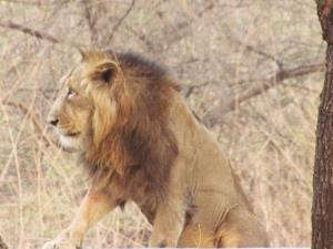 Löwe im Sasan Gir Nationalpark