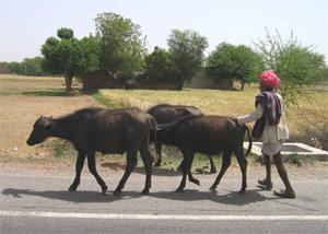 Viehtreiber auf dem Land