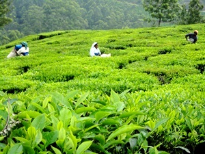 Grüne Teefelder in den Western Ghats bei Munnar