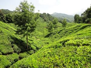 Teefelder bei Munnar: Fahrradtour Indien
