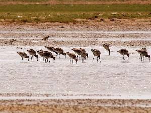 Vögel auf dem Chilika See in Odisha
