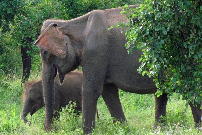Elefantenkuh mit Baby bei einer Südindien Reise.
