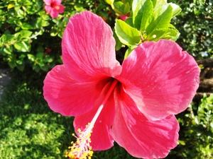 suedindien-hibiskus-bluete