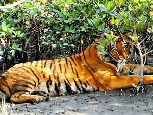 Sunderbans – Königstiger im Mangrovenwald