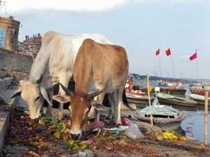 Kühe am Ganges - Varanasi, Indien Rundreise.
