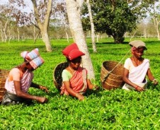 Tea Time in Assam