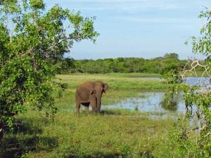Wildlebende Elefanten