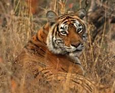 Auf Tigersafari im Ranthambore Nationalpark