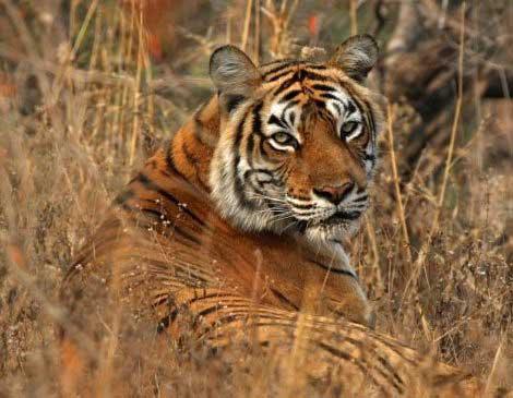 Entdecken Sie auf Ihrer Reise durch Indien Tieger bei einer Safari durch den Ranthambore Nationalpark