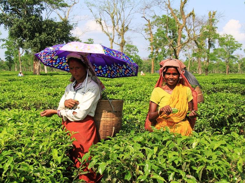 Teepflückerinnen Assam