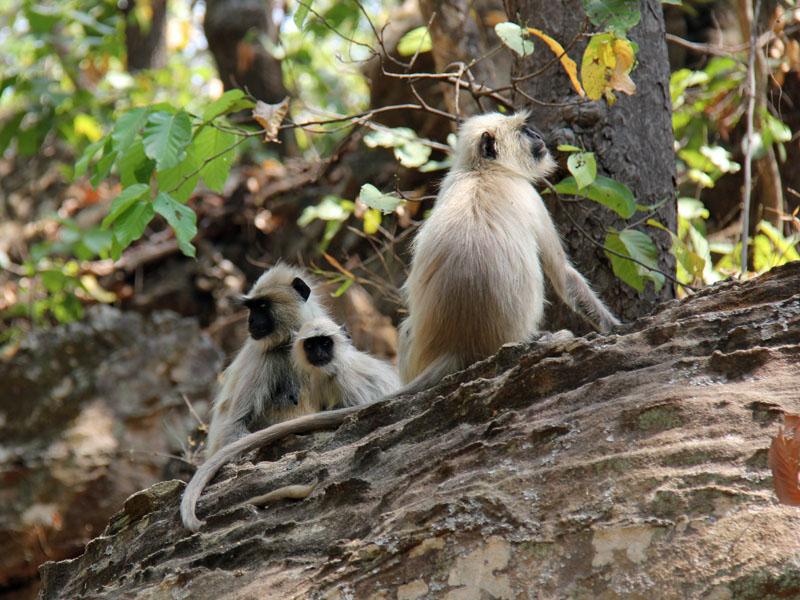 Affen Bandhavgarh