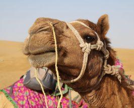 Kamel Closeup