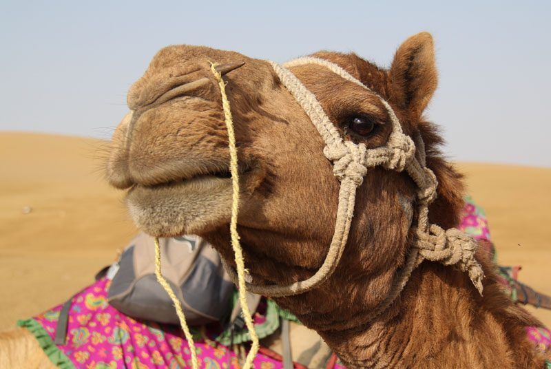 Kamel Closeup in Jaisalmer auf Indien Rundreise