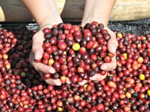 Koffiebonen Boquete Panama