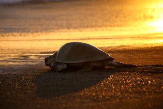 Tortuguero schildpad