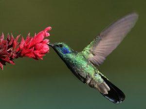 vogels spotten: kolibrie boquete