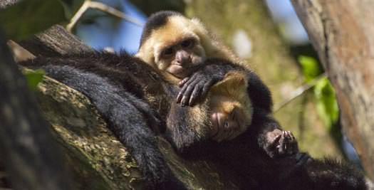 Costa Rica reis aapjes