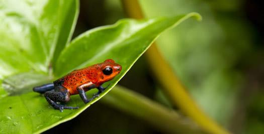 Costa Rica rondreis kikker