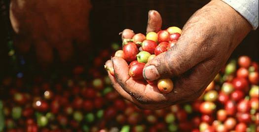 Costa Rica rondreis koffie