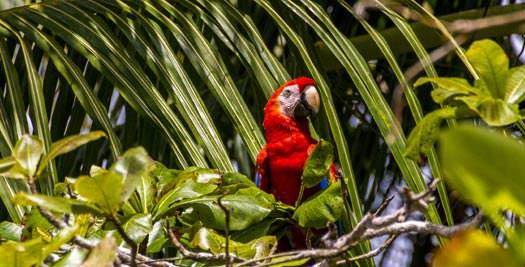 Costa Rica reizen papegaai
