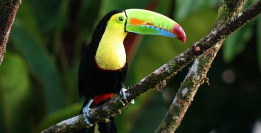 Rondreis Costa Rica - toekan