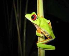 Costa Rica reizen kikker