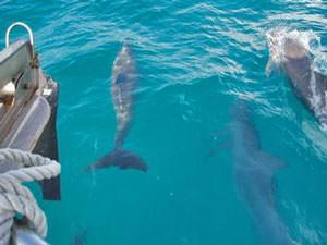 Dolfijnen dichtbij de boot