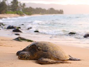 Schildpadden - Tortuuguero