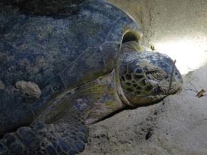 schildpad-strand-costa-rica