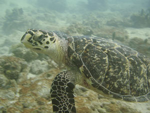 schildpad onderwater costa rica