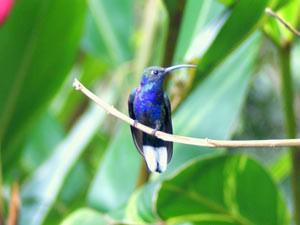costa-rica-kolibrie