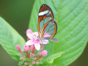 costa-rica-leuke-weetjes-monteverde-vlinder
