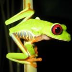 Kikker - Costa Rica reizen