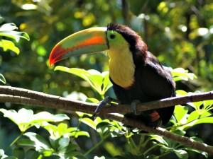 Costa Rica reis - toekan